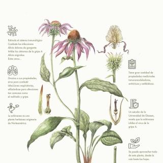 ¿Qué beneficios tiene la echinacea?👀✨ #echinacea #flor #natural #naturalmedicine #art #design #medicine #homeopathy